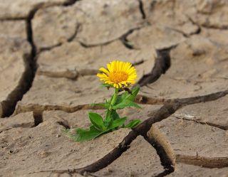 kwiat podczas suszy